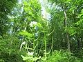 20200508Alliaria petiolata3.jpg