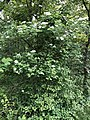 2021-05-15 16 45 24 An American Cranberrybush along a walking path in the Franklin Glen section of Chantilly, Fairfax County, Virginia.jpg