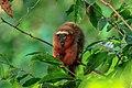 4 day trip to La Selva Lodge on the Napo River in the Amazon jungle of E. Ecuador - Dusky Titi Monkey (Callicebus discolor) - (26832186386).jpg