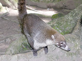 Coati - Image: 5287 aquaimages