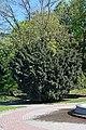 68-104-5047 Kam-Pod Taxus Baccata RB 18.jpg