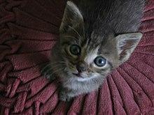 Veľká mačička bradavky