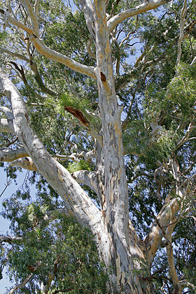 700 yr red river gum.jpg