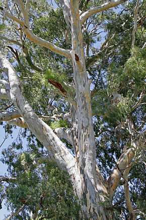 Description de l'image 700 yr red river gum.jpg.