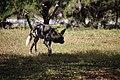 AFRICAN WILD DOG (14003916471).jpg