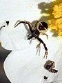 ARAÑA NAPOLEÓN (Synema globosum), degustando una hormiga alada (3962959779).jpg