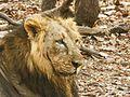 ASIATIC LIONS.jpg