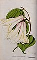 A Chilean bellflower (Lapageria rosea); flowering stem. Colo Wellcome V0044430.jpg