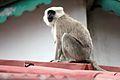 A Monkey sitting on roof in Uttarakhand, India.jpg