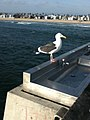 A Seagull from Venice Fishing Pier.jpg
