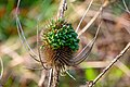 A Teasel head where the seeds in it are germinating (vivipary).jpg