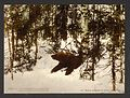 A bear coming out of his den, Russia-LCCN2001697542.jpg