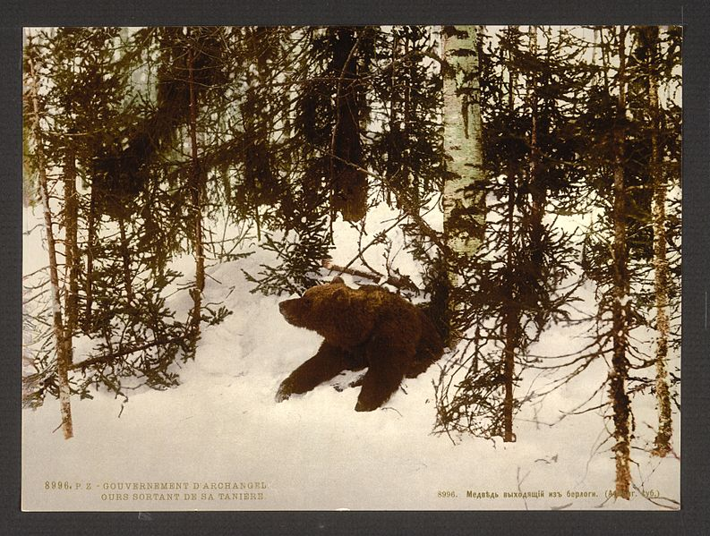 File:A bear coming out of his den, Russia-LCCN2001697542.jpg