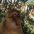 A bold Barbary macaque by the Ouzoud Waterfalls.jpg