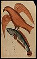 A fish being carried off by a bird. Watercolour drawing. Wellcome V0045179.jpg