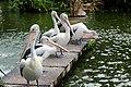 A flock of Australian Pelicans.jpg