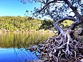 A gnarled paper bark tree on the edge of a Fraser Island Lake.jpg