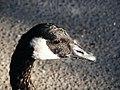 A goose in Springbank Park, London, Ontario (2139751778).jpg