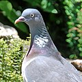 A nice coloured Wood Pigeon in the garden at Schaarsbergen - panoramio.jpg