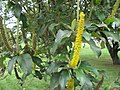 Abatia parviflora.jpg