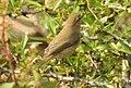 Aberrant Bush Warbler Horornis flavolivaceus by Dr. Raju Kasambe DSCN3403 (2).jpg