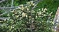 Abies fraseri (Fraser fir) (Clingmans Dome, Great Smoky Mountains, North Carolina, USA) 9 (36617871840).jpg