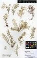 Abietinaria abietina (MNHN-IK-2014-1714) 001.jpeg