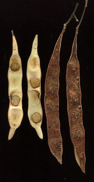 Senegalia caffra - Image: Acacia caffra 07