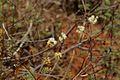 Acacia chariessa06.jpg