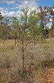 Acacia coriaceae.jpg