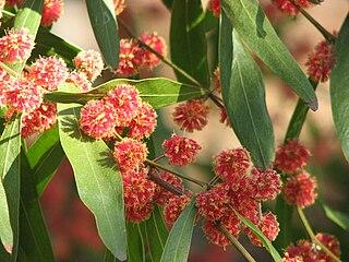 <i>Acacia leprosa</i> Scarlet Blaze