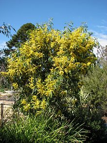 A rounded tree with green foliage and profuse yellow flowers in a public garden