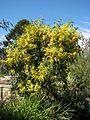 Acacia pycnantha 5145.jpg