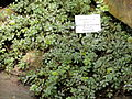 Acaena anserinifolia - Palmengarten Frankfurt - DSC01913.JPG