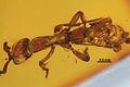 Acanthostichus hispaniolicus SMNSDO5205-1 03.jpg