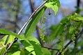 Acer carpinifolium 0zz.jpg