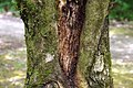 Acer opalus in Eastwoodhill Arboretum (1).jpg