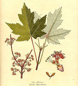 Aceraceae - Image: Acer rubrum AH