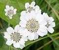 Achillea ptarmica (Sneezewort). Mauchline, Ayrshire. Detail.jpg