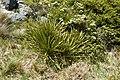 Aciphylla aurea kz16.jpg
