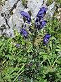 Aconitum napellus (7961618122).jpg