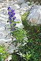 Aconitum napellus g1.JPG