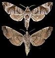 Acosmeryx anceus anceus MHNT CUT 2010 0 230 Sulawesi Female.jpg
