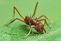Acromyrmex octospinosus 02.jpg