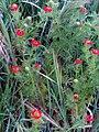 Adonis annua subsp. castellana Habitus 19April2009 CampodeCalatrava.jpg