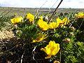Adonis vernalis sl8.jpg
