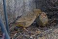 Adult California Towhee Feeding Fledgling (9170736153).jpg