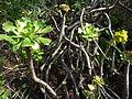 Aeonium manriqueorum.jpg