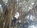 Aerial root YVSREDDY (3).jpg