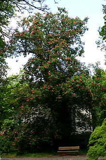 Aesculus × carnea in flower.